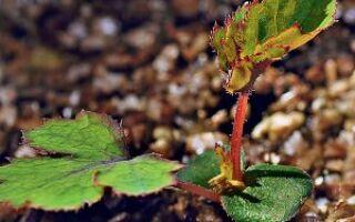 Выращивание китайской розы из семян
