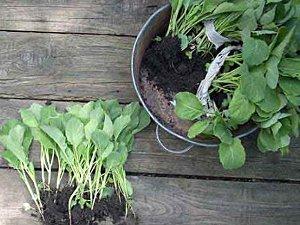 Когда сажать капусту
